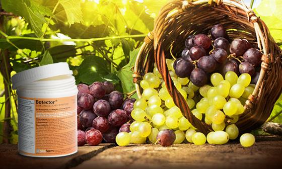 Botector lo racconta l 39 azienda agricola gasparro manica spa - Vivai rauscedo uva da tavola ...