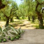 olive appena raccolte in oliveto